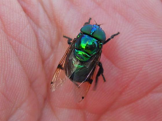Green Fly - Ornidia obesa - female