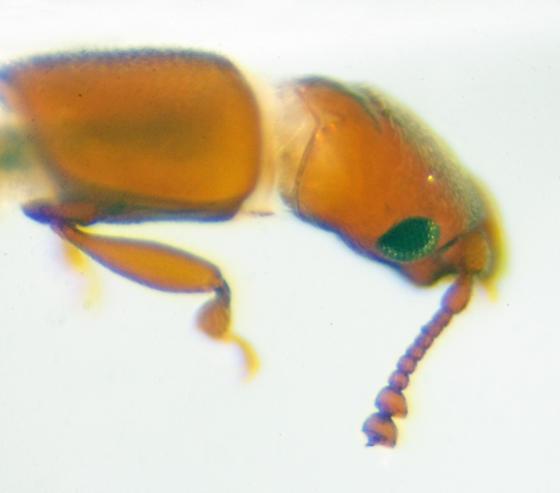 Possibly Family Smicripidae - Smicrips