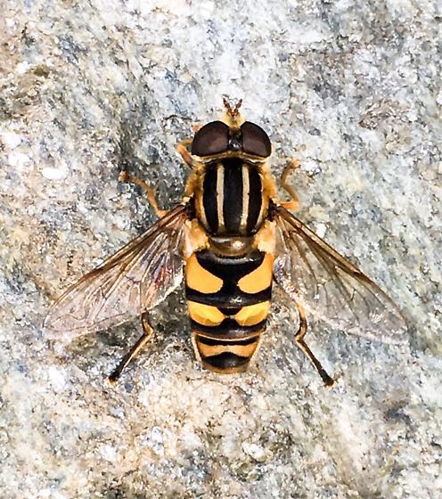 Hoverfly - Helophilus fasciatus