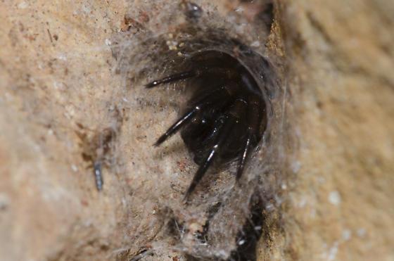 Tube Web Spider - Ariadna bicolor