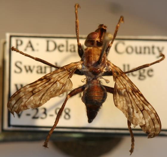 snipe fly - Sphecomyiella valida