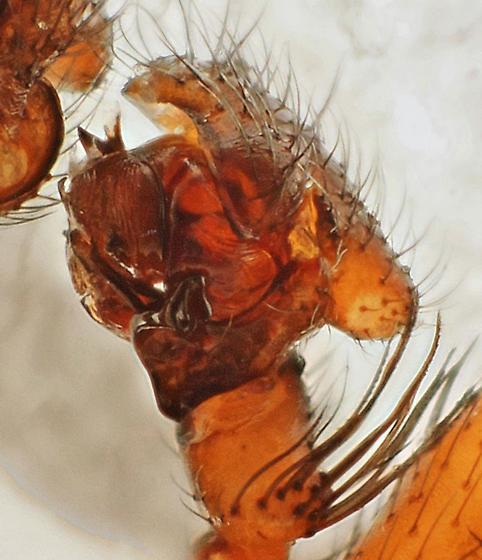 Adult male - Centromerita bicolor - male