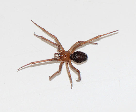 Common Southern California Spider Found In House   Steatoda