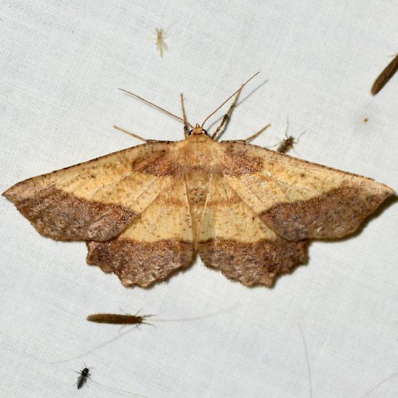 Saw-wing - Euchlaena serrata - female