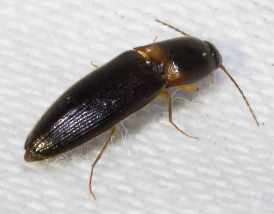 Black click beetle - Megapenthes rufilabris