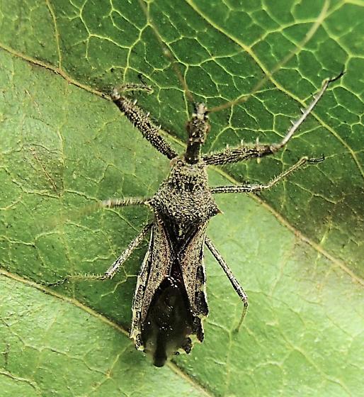 Bug - Sinea diadema