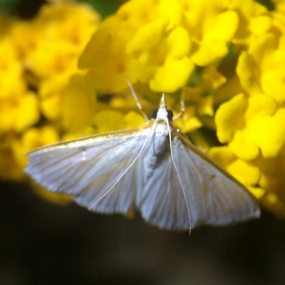 White moth - Diaphania costata