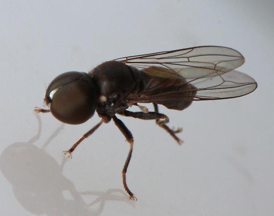 Pipunculidae?
