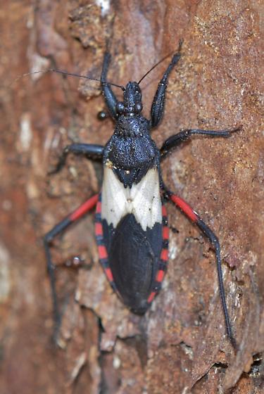 assassin bug - Microtomus purcis