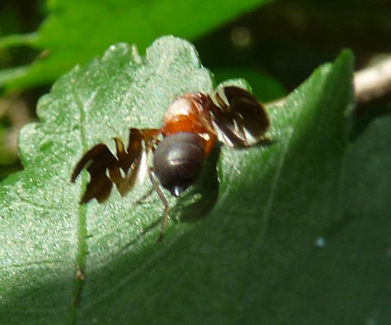 Fruit Fly on Rose of Sharon (Althea / Hibiscus syriacus) - Delphinia picta