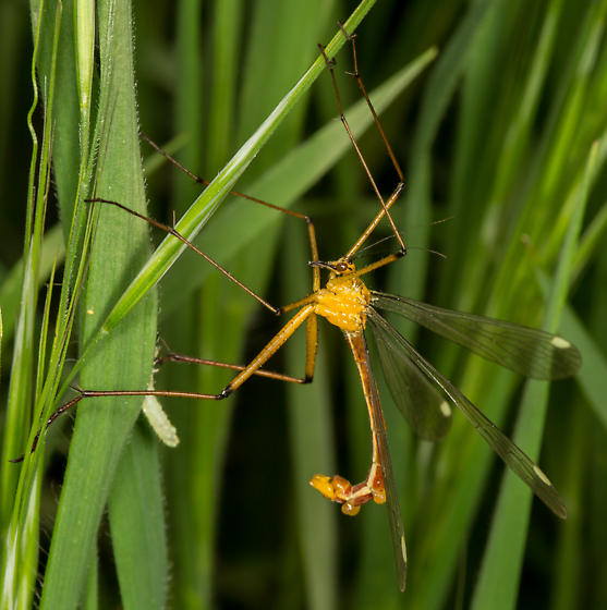 Bittacus chlorostigma - male