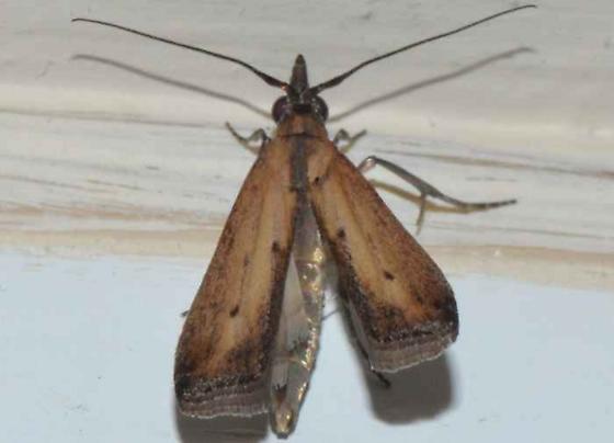 Moth - Elasmopalpus lignosellus