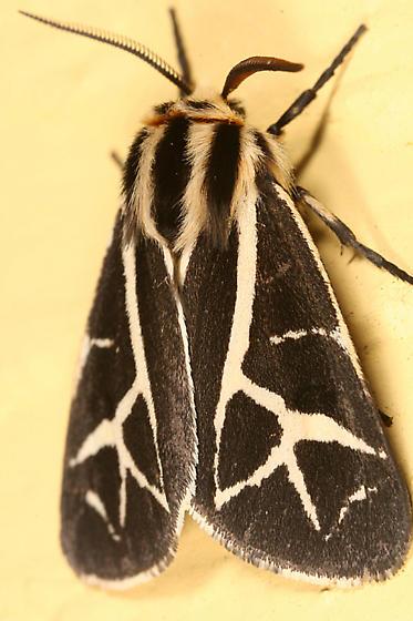 Tiger Moth? - Apantesis figurata