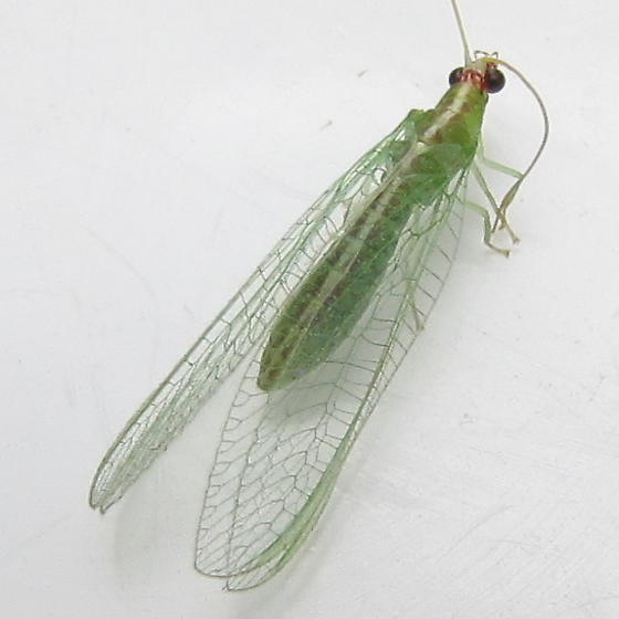 Green lacewing with reddish-bordered pale dorsal stripe - Chrysopodes collaris