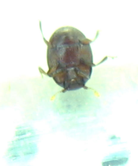 New smallest beetle! - Bacanius punctiformis