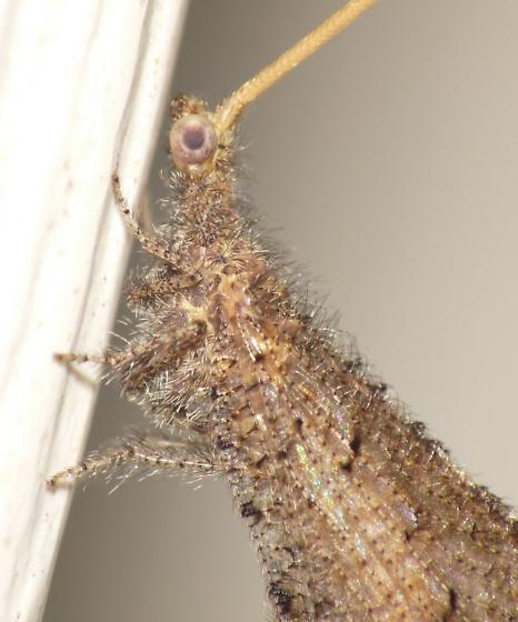 Beaded Lacewing - Lomamyia