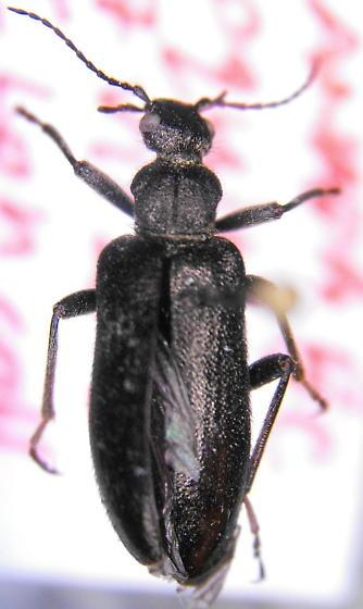 Anthicid 2 - Pergetus campanulatus