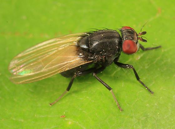 fly - Minettia