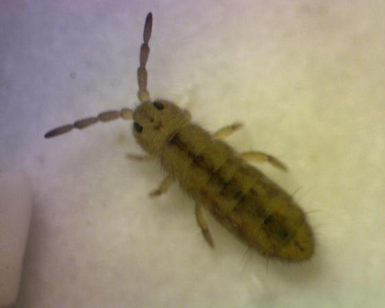 Isotomurus? - Isotomurus palustris