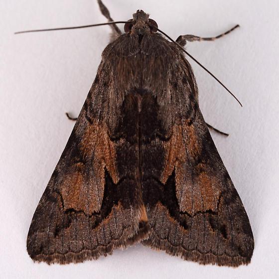 Unknown Noctuid - Melipotis jucunda