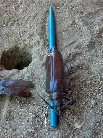 Large Desert Beetle - Derobrachus