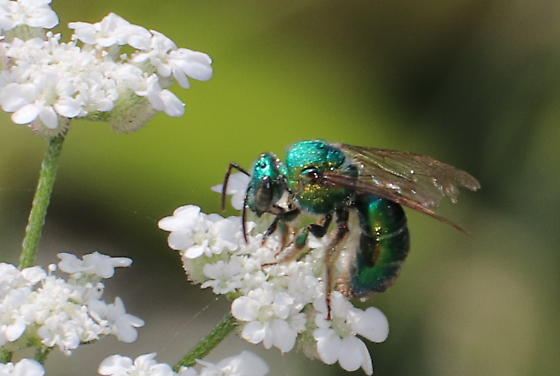 Another Green Bee - Augochloropsis