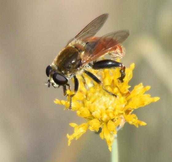 Dimorphic Sickleleg - Lejops curvipes - male