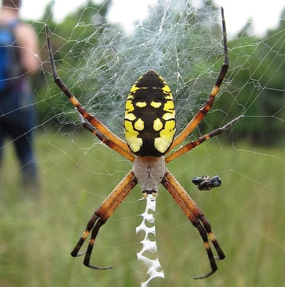 Black and Yellow Argiope - Argiope aurantia - female