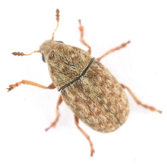 Trigonorhinus limbatus (Say) - Trigonorhinus limbatus