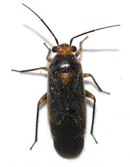 Heteroptera - Lopidella flavoscuta - male