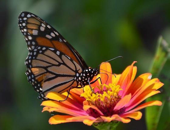 Monarch butterfly? - Danaus plexippus - female