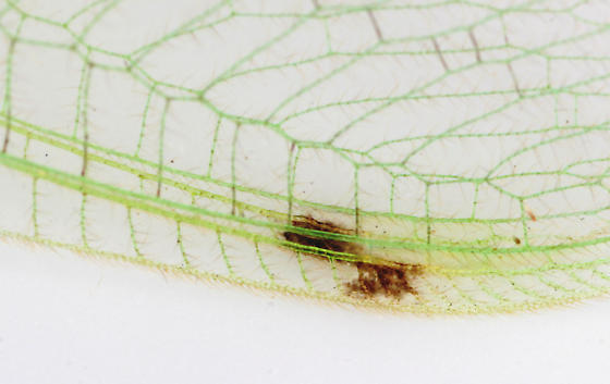 Large spotted Green Lacewing--pterostigma - Leucochrysa insularis