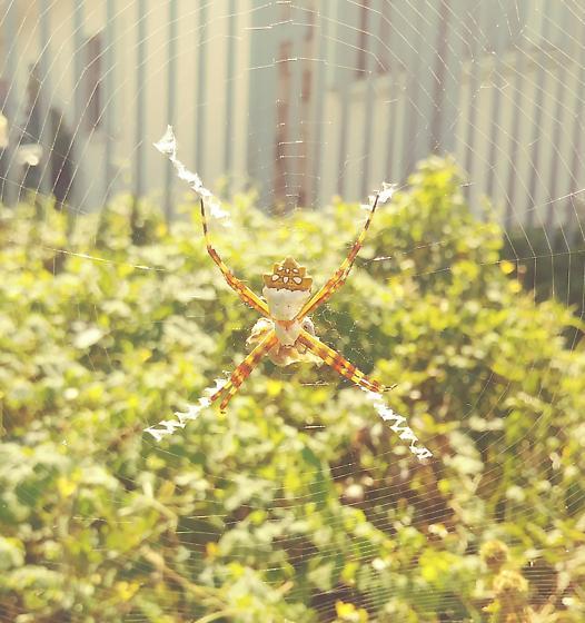 Spider - Argiope argentata