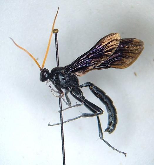 Ichneumonid 9 - Gnamptopelta obsidianator - Gnamptopelta obsidianator - male