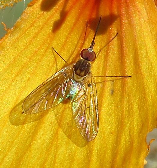 Nectar-feeding fly ID - Poecilognathus