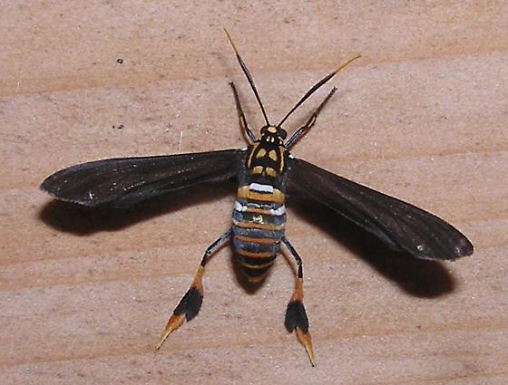 texas wasp moth - Horama panthalon