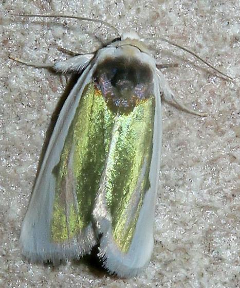 Poetry Moth - Neumoegenia poetica