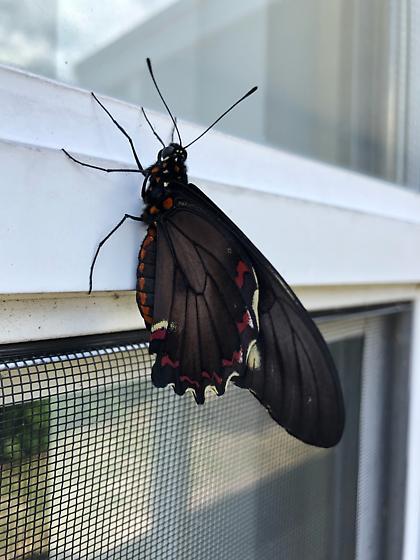 butterfly Florida  - Battus polydamas