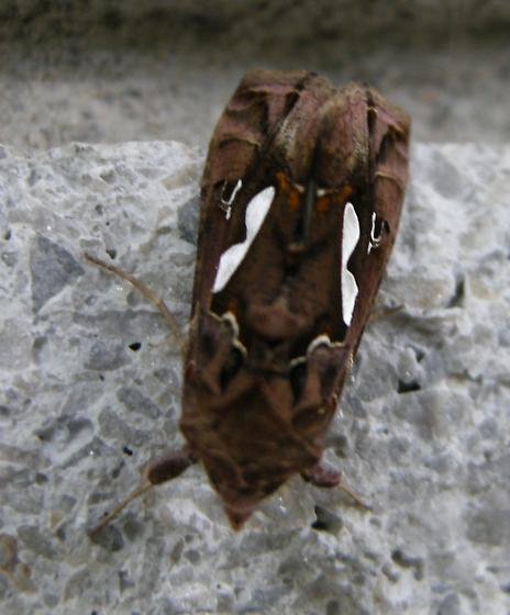 Owlet_bilobed looper - Megalographa biloba