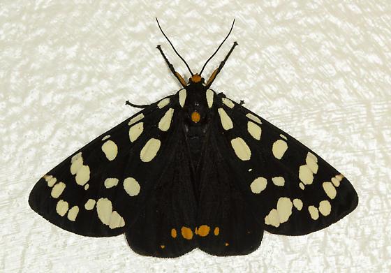 Ranchman's Tiger Moth - partial life cycle - Arctia virginalis