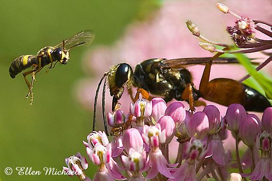 Great Golden Digger Wasp - Sphex ichneumoneus and  Weevil Wasp - Cerceris clypeata - female