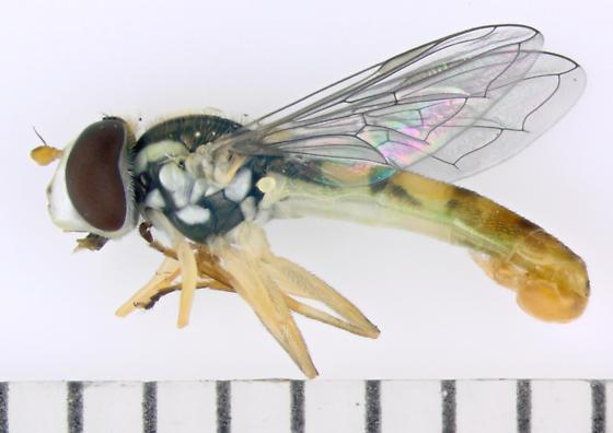 Syrphidae, lateral - Sphaerophoria contigua - male