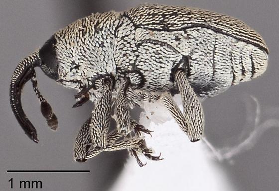 Curculionidae ID Request - Geraeus picumnus