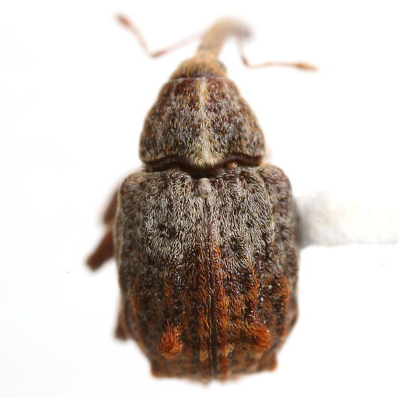 Anthonomus quadrigibbus Say - Anthonomus quadrigibbus