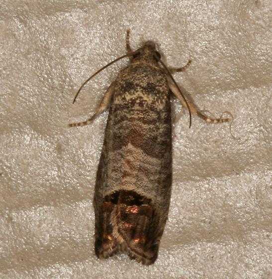 Codling Moth - Cydia pomonella