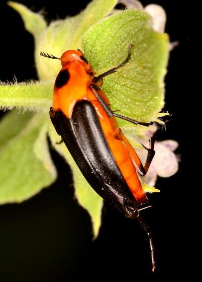 Resembles Tumbling Flower Beetle (Macrosaigon limbata) - Macrosiagon limbata - female