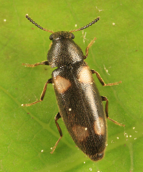 False Darkling Beetle - Spilotus quadripustulatus