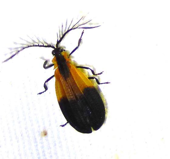 Calopteron terminale - End Band Net-wing - Caenia dimidiata