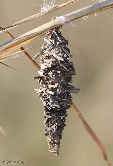 moth cocoon - Oiketicus abbotii