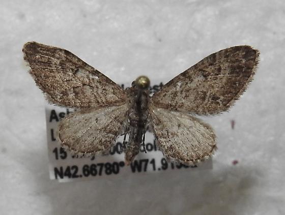 Eupithecia gelidata - Hodges#7538 - Eupithecia gelidata - male